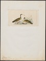 Heliornis fulica - 1820-1863 - Print - Iconographia Zoologica - Special Collections University of Amsterdam - UBA01 IZ17500251.tif