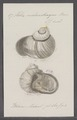 Helix melanotragus - - Print - Iconographia Zoologica - Special Collections University of Amsterdam - UBAINV0274 089 01 0018.tif