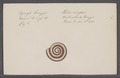 Helix ringens - - Print - Iconographia Zoologica - Special Collections University of Amsterdam - UBAINV0274 089 01 0062.tif