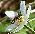 Helophilus pendulus. Syrphidae - Flickr - gailhampshire.jpg
