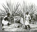 Henequenharvesting-yucatan-1922.jpg