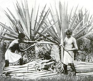 Agave fourcroydes - Image: Henequenharvesting yucatan 1922
