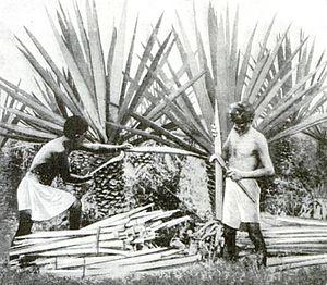 Agave fourcroydes - Image: Henequenharvesting yucatan 1922