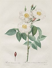 Les Roses:  Rosa Damascena, subalba