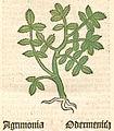 Herbarius Agrimonia.jpg