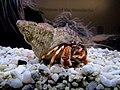 Hermit Crab at the RAMM.jpg