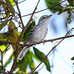 Herpsilochmus longirostris - Large-billed Antwren (male).JPG