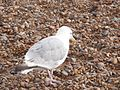 Herring Gull 011.JPG