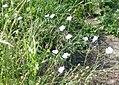 Herxheim am Berg Felsenberg-Berntal Nature Reserve flowers 042.jpg
