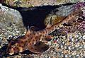 Heterodontus francisci SI2.jpg
