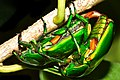Heterorrhina elegans - Love in the times of Corona.jpg