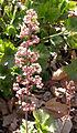 Heuchera maxima inflorescence 2004-03-10.jpg