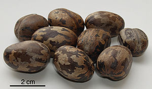 Hevea brasiliensis - Rubber tree seeds