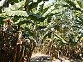 Hf9906Banana plantations Philippinesfvf 12.JPG