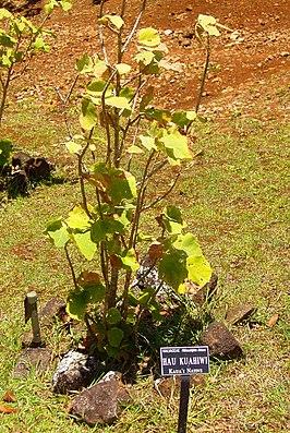 Hibiscadelphus distans