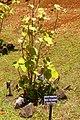 Hibiscadelphus distans (Limahuli Garden and Preserve).JPG