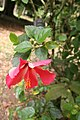 Hibiscus Rosa Sinensis 05.jpg