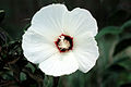 Hibiscus moscheutos (USDA).jpg