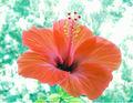 Hibiskusblüte 2.jpg