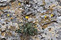 Hieracium murorum (Épervière des murs) - 66.jpg