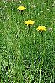 Hieracium pilosella Mouse Ear Hawkweed ხაარნუყა.JPG