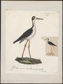 Himantopus nigricollis - 1825-1834 - Print - Iconographia Zoologica - Special Collections University of Amsterdam - UBA01 IZ17400189.tif
