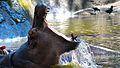 Hippo in Trivandrum zoo.jpg