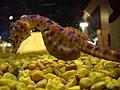 Hippocampus abdominalis.001 - Aquarium Finisterrae.JPG