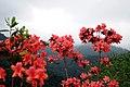 Hoa đỗ quyên đỏ Tây Thiên - panoramio.jpg