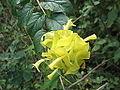 Holmskioldia sanguinea aurea-flower-yercaud-salem-India.JPG