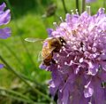 Honey bee on scabious, Sandy, Bedfordshire (7410089484).jpg