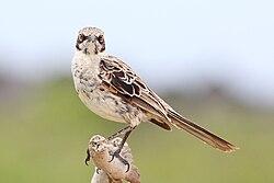 Hood-mockingbird.jpg