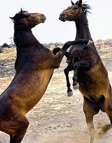 La viande du Cheval dans CHEVAL 220px-Horse_Play