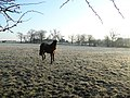 Horse in a frosty field - geograph.org.uk - 699833.jpg