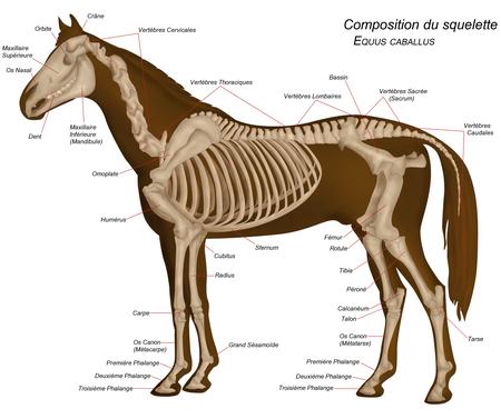 Anatomie du Cheval dans CHEVAL 450px-Horseanatomy_french