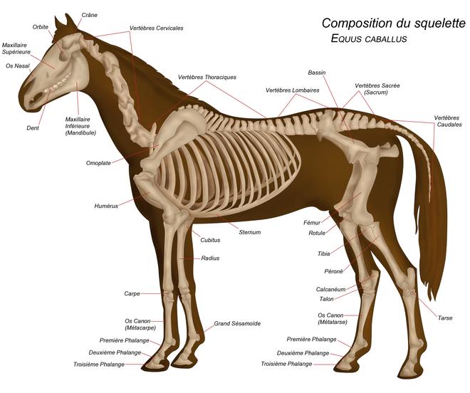 Squelette d un cheval