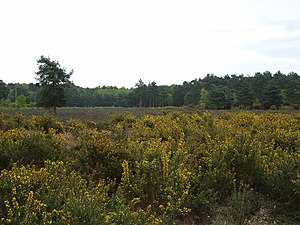 Horsell Common - Image: Horsell Common geograph.org.uk 166262
