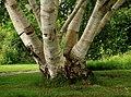 Hortus Haren. Meerstammige berk (Betula) 01.JPG