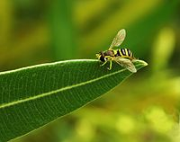 Hoverfly on leave edit.jpg