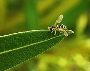 Hoerfly on a leaf