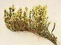 Hudsonia tomentosa WFNY-132A.jpg