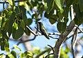 Hum Bird Grn2 3545.jpg