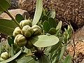 Hyaenanche globosa fruit Gifberg.jpg