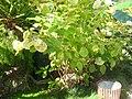 Hydrangea macrophylla 2.JPG