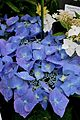 Hydrangea macrophylla Blaumeise 1.jpg