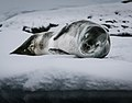 Hydrurga leptonyx on ice.jpg