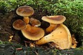 Hygrophoropsis rufa syn Hygrophoropsis aurantiaca var. rufa.jpg