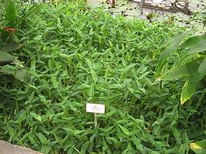 Hygroryza - Image: Hygroryza aristata NBGB IMG 4392