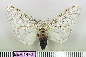 Hypercompe albicornis - Image: Hypercompe albicornis