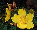 Hypericum moserianum 2015-07-15 4406.JPG